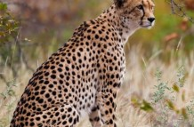 Cheetah in Autumn