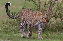 Leopard on patrol (2)