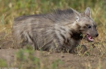 Striped hyena pup