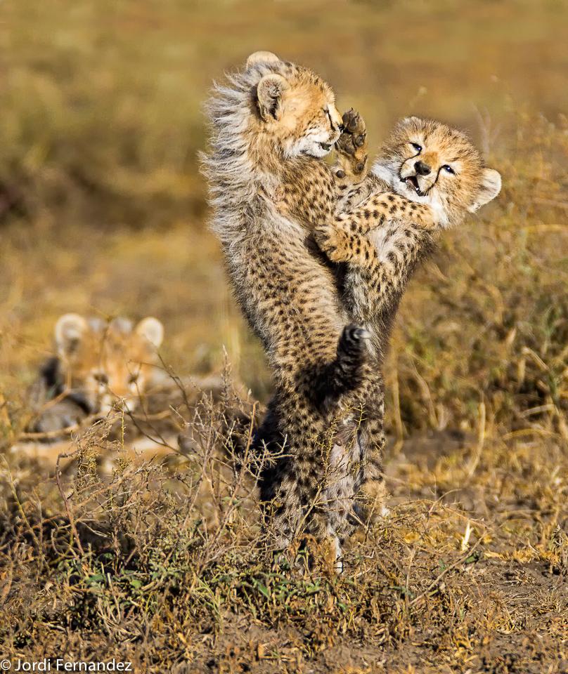 Playeful cubs