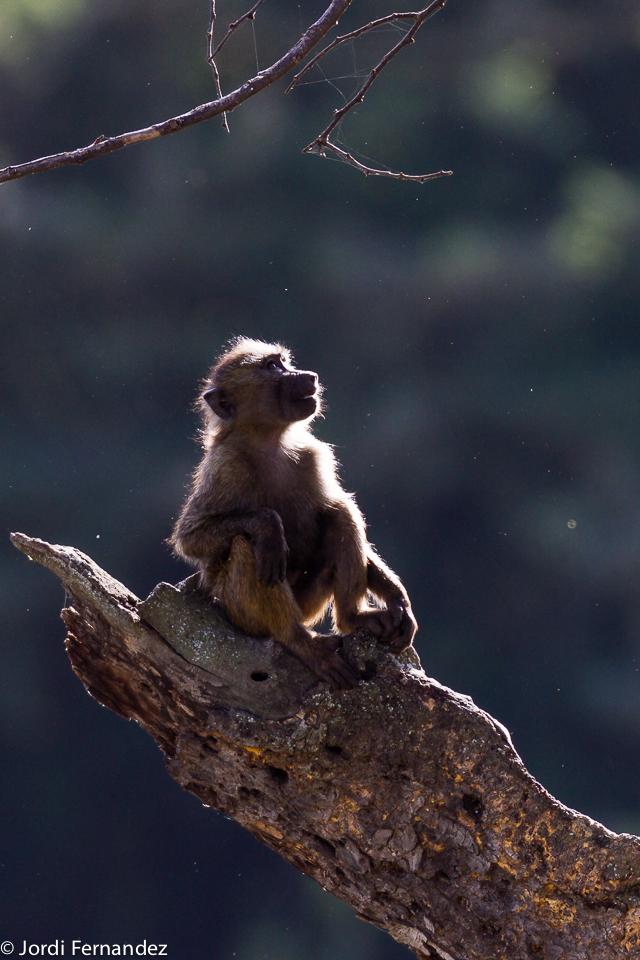 Backlited baboon