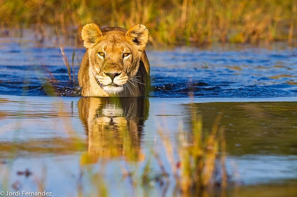 Swimmig Lioness