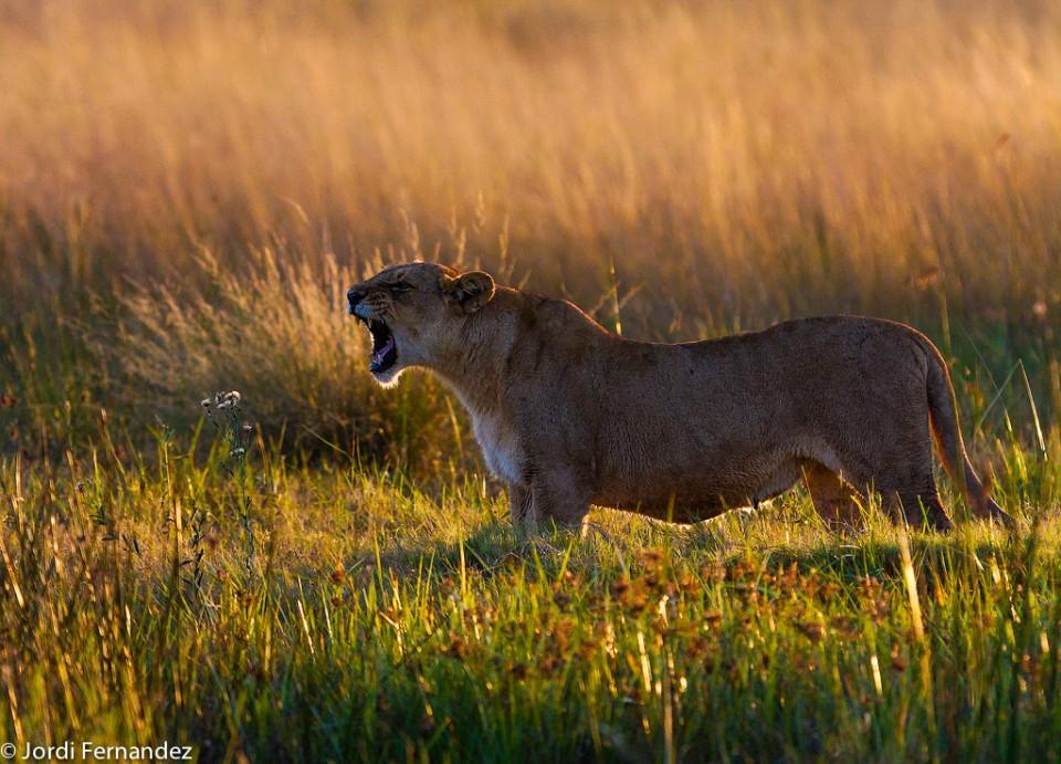 Roaring at dawn